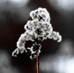Winter Flower by Henrik Thorn